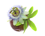 passionflower on a maracuya
