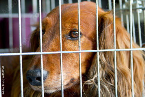 Sad Cocker Spaniel in the cage
