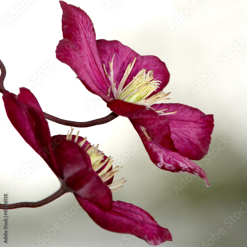 Red clematis