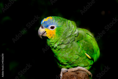 Blue fronted Amazon parrot on black background