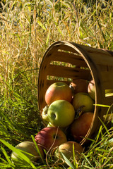 Bushel basket full of fresh picked apples