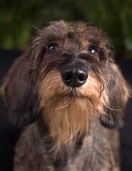 Tartufo naso cane bassotto
