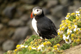 Atlantic puffin with chamomiles around