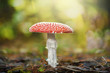 Red mushroom - Toadstool in the forest