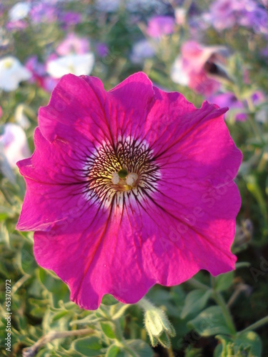 Papiers peints Rose Magenta pink petunia