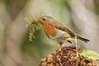 Cheeky Robin Red Breast Profile View