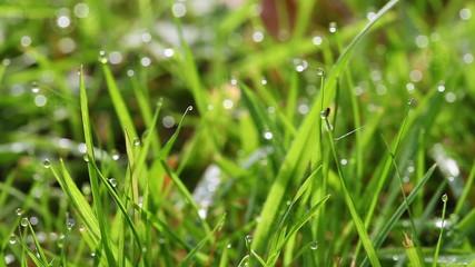 Gras - Tautropfen