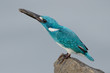 small blue cerulean kingfisher eating fish