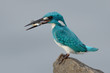 cerulean kingfisher catch a fish