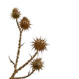 dry bur flower poster