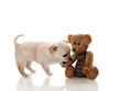 Small brown puppy bites a teddy - isolated