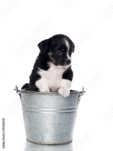 Small black puppy in a bucket - isolated