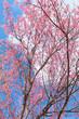 he beautiful Sakura flower in winter season, Thailand