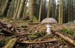 Leinwanddruck Bild - Giftiger Pantherpilz im Wald