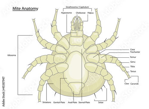 Dust Mite Anatomy