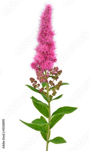 Papiers peints Lilac Astilbe flower