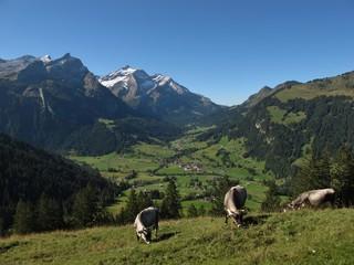 Grazing Raetisches Grauvieh In The Alps