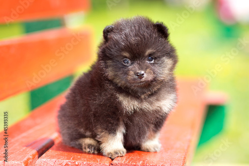 Small fluffy Pomeranian puppy