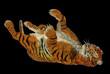 Tiger playing