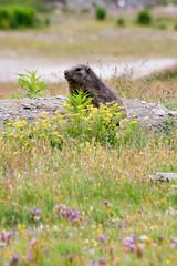 Marmotte de savoie