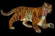 Tiger raging