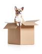 Chihuahua dog looks out of cardboard box, isolated on white