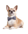 Lying doggy with bow tie, isolated on white