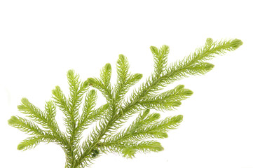 fir-trees branch isolated on white