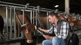 Veterinarian in cow barn using digital tablet