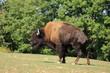 grand bison d'amérique