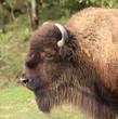 portrait du grand bison d'amérique