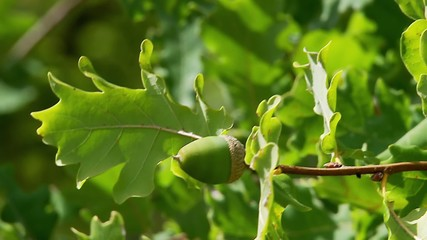 Unripe green acorns on oak branch