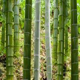 Fototapeta Background in bamboo