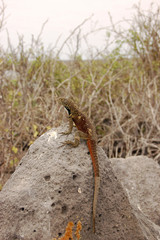 Lava lizard sitting on volcanic rock in the Galapagos Islands