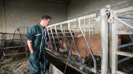 Farmer in barn checking on cows