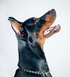 Doberman Pinscher on simple background