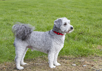 Bichon frise poodle cross breed standing looking