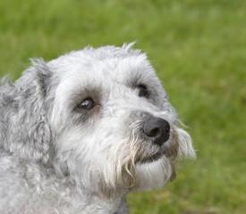 Bichon frise poodle cross breed