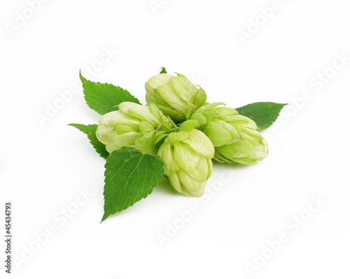 Green hops  plant, hopcones isolated on white background
