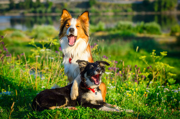 Two dogs border collie in the morning