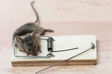 Dead mouse in a mousetrap
