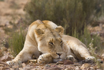 Female Lion sunbathes in afternoon sun, South Africa