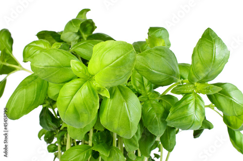 Fresh basil growing from pot isolated