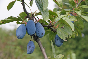 purple ripe plums in autumn with the green leaves