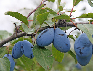 purple juicy ripe plums in autumn with the green leaves