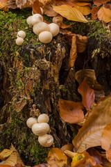 Baumstumpf im Herbst mit Pilzen