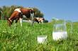 Jug of milk against herd of cows