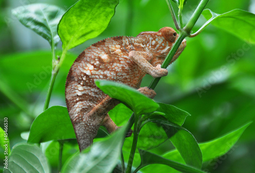 Staande foto Kameleon Panther chameleon