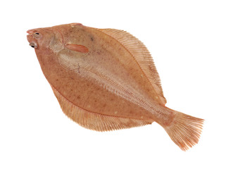 Dab Fish Isolated on White Background