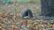 Squirrel in the park finds and eats acorns in autumn.